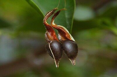 ジンコウ(沈水香木、アクイラリア・シネンシス)の種子