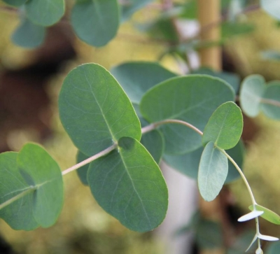 ユーカリ・グニー(サイダーガム)の種子