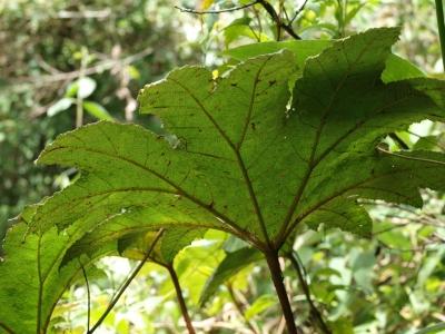グンネラ・アンティオクエンシスの種子