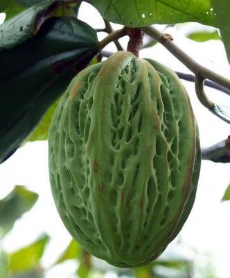 ホワイトカカオ(マカンボ)の種子