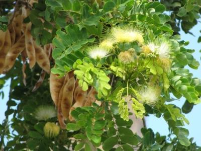 アルビジア・レベック(ビルマネム)の種子