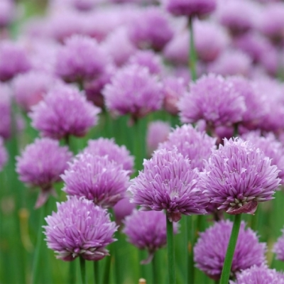 ボヘミアチャイブの種子