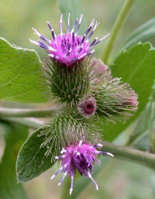 バードック(ラッパ)の種子