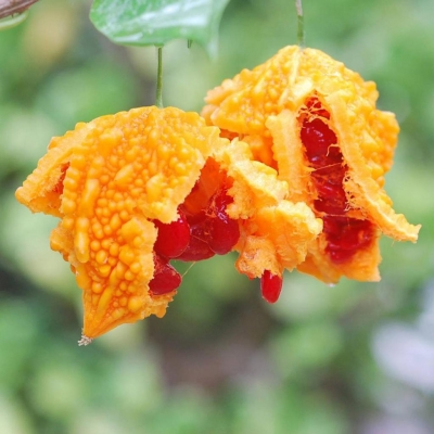 ニガウリ(ビターメロンゴード)の種子