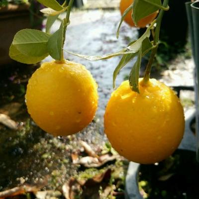 スイートレモネードレモンの苗(3号ポット)販売