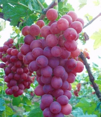 ジャイアントマスカディンブドウ(Red Tame)の種