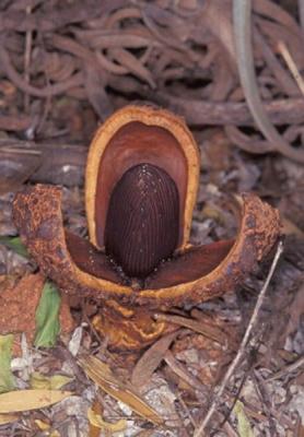 プロソパンケ・アメリカーナの種