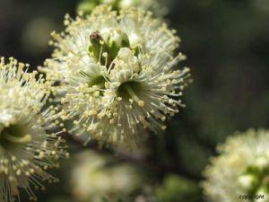 アルビジア・アンドロイエンシスの種子