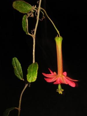 アダルテリナパッションフルーツの種子