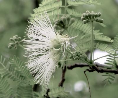 アルビジア・ハーベイの種子