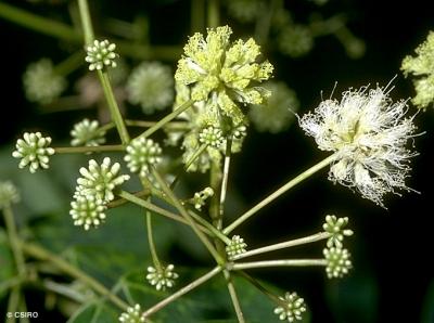 アルビジア・プロセラ(ホワイトシリス)の種子