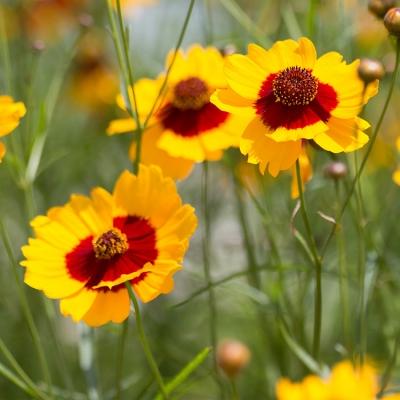 ハルシャギク(ジャノメソウ)の種子