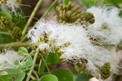 アルビジア・グアチャペレの種子