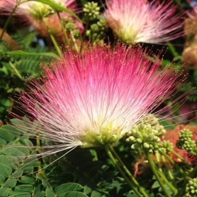 アルビジア・サマン(モンキーポッド、アメリカネムノキ)の種子