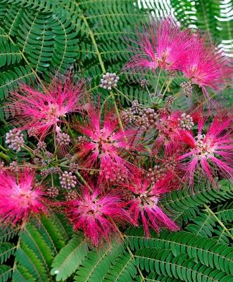 アルビジア・ジュリブリッシン・ロゼア(ネムノキ)の種子