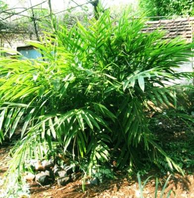 バスタードカルダモン(シュクシャ)の種子