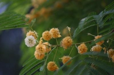 アルビジア・オドラチッシマ(ブラックシリウス)の種子