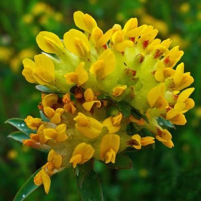 キッドニーベッチ(アンティリス・ブルネラリア)の種子