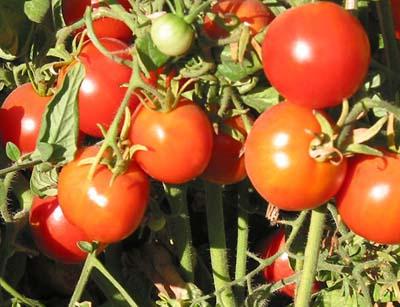 グレーシアトマト
