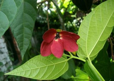 デビルズコットン(アブロマ・オーガスタ)の種子