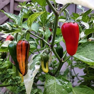 フィッシュチリペッパーの種子