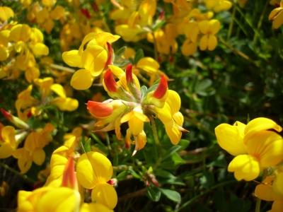 ミヤコグサ(烏帽子草)の種子