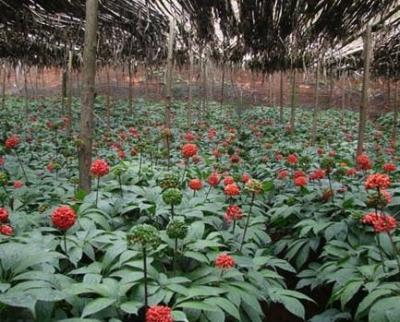 ヒマラヤニンジン(ネパールニンジン)の種子
