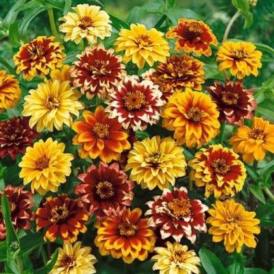 メキシカンジニア(ヒャクニチソウ)ミックスの種子