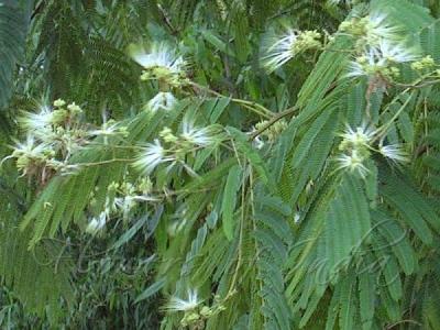 アルビジア・チネンシスの種子
