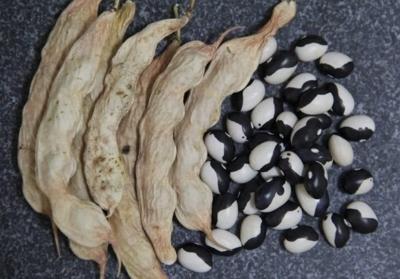 陰陽豆(カリプソ豆)の種