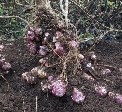 紫菊芋(ムラサキキクイモ、フランスキクイモ、パープルエルサレムアーティヨーク)の種芋