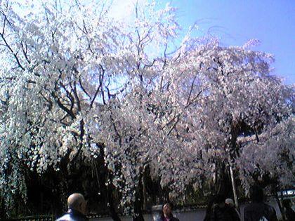 しだれ桜 春