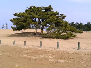 砂丘の一里松