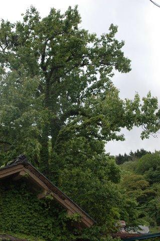 上地のヤマナシの木