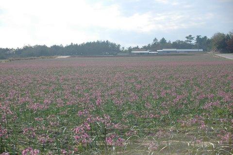 ラッキョウ畑