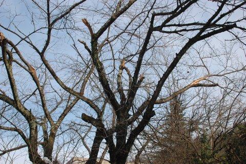鳥取の桜の基準木