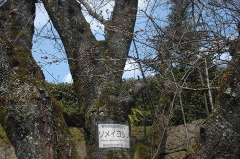 桜の基準木