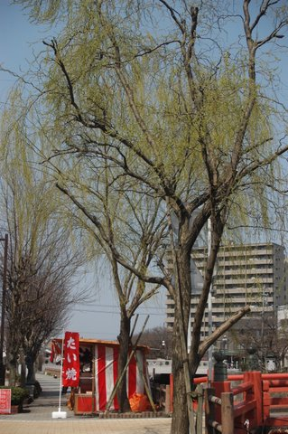 花見橋の柳(新芽)