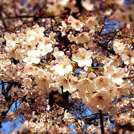桜並み木をぽかぽかのお花見