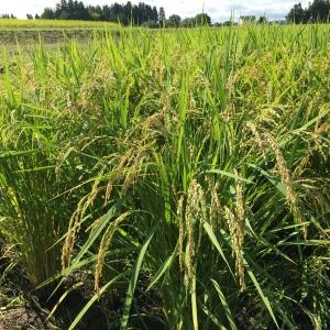 無農薬玄米新米予約