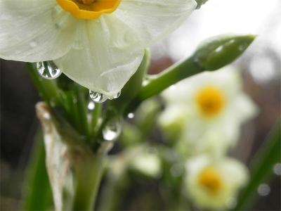 雨後の スイセン(水仙)の 花