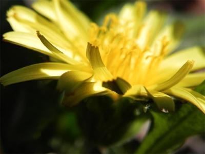 カントウタンポポ(関東蒲公英)の 花