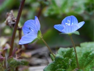オオイヌノフグリ(大犬の陰嚢)の 花