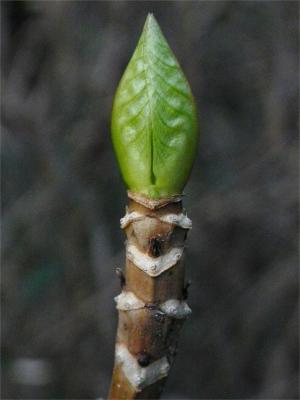 アジサイ(紫陽花)の 冬芽 と 葉痕  アジサイ科(ユキノシタ科)アジサイ属の 落葉低木。