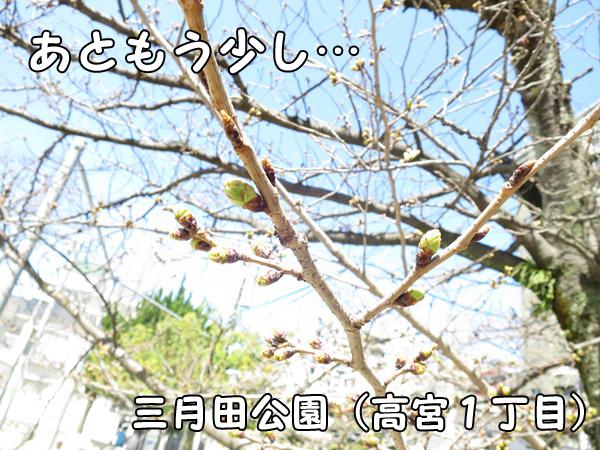 桜の蕾_三月田公園_福岡市高宮1丁目10