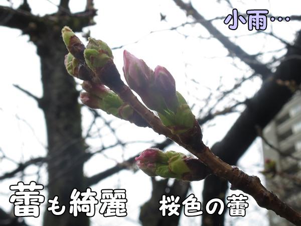 桜のつぼみ情報三月田公園(福岡市南区高宮)