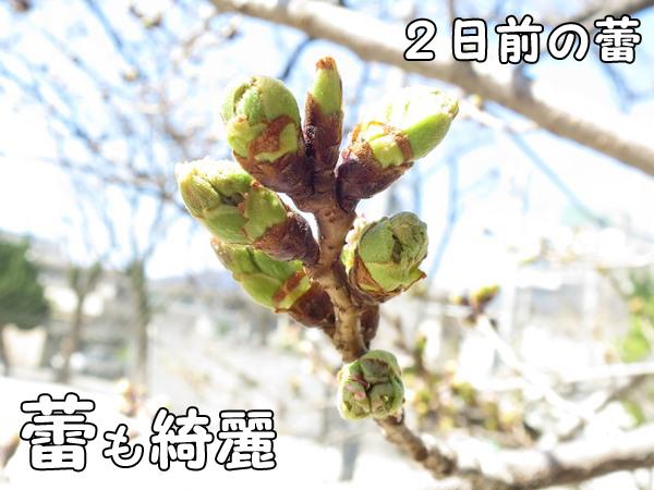 桜のつぼみ三月田公園(福岡市南区高宮)