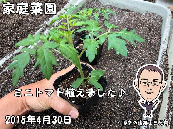家庭菜園_ミニトマトの苗を植えました
