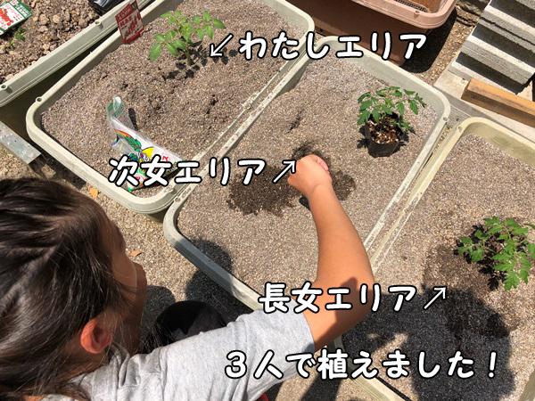 ミニトマトの苗を子供が植える