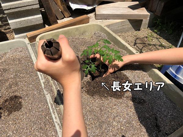 ミニトマトの苗を植える